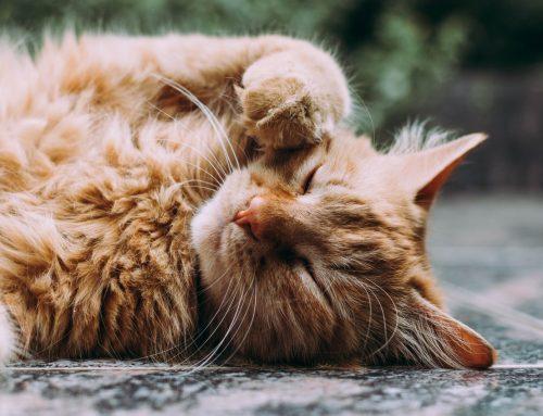 Schilddrüsenüberfunktion bei Katzen